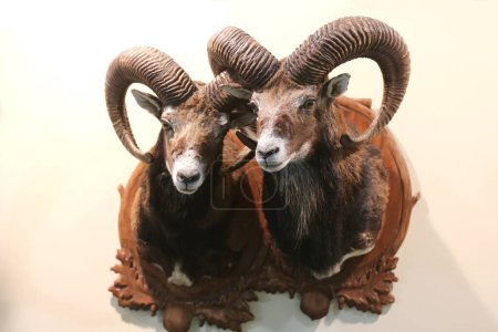 Head shot closeup of two adult male mouflon on the...