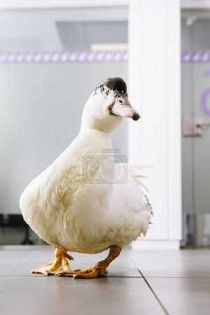 Portrait of a duck bird. Veterinary Concept.