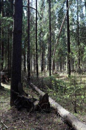 Photo pour Forêt de pins. Profondeurs d'une forêt. Chemins forestiers de voyage. Arbres sans feuilles au début du printemps. Randonnée dans la réserve. - image libre de droit