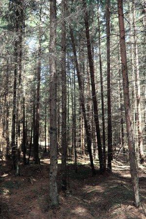 Photo pour Forêt de pins. Profondeurs d'une forêt. Voyage à travers des chemins forestiers. Arbres au début du printemps. Randonnée dans la réserve. - image libre de droit
