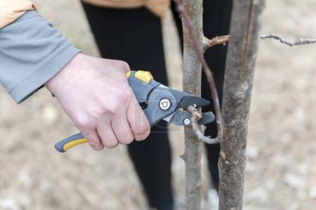 Person pruning a tree with yellow clippers