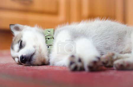 Photo pour Chiot husky sibérien, dormir dans les maisons sur le vieux tapis vintage rouge - image libre de droit