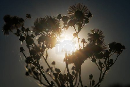 Dry plants against the backdrop of the setting sun. Contrast photo