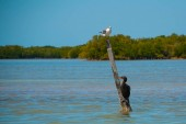 Royal Tern standing on a post near Rio Lagartos, Mexico Yucatan