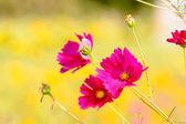 Kosmos květ