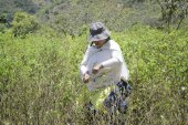 Worker  pulls ripe coca leaves off a tree during a harvest