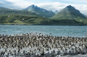 Colony of King Cormorants On Ilha Dos Passaros Located on the Beagle Channel, Tierra Del Fuego, Argentina