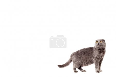 Scottish Fold of gray color gray adult shorthair white isolated background with place for text, copyspace