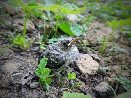 Photo pour Gros plan d'une tête d'adulte effrayé niché dans une grive qui vient de sauter du nid au sol se cachant dans l'herbe verte - image libre de droit