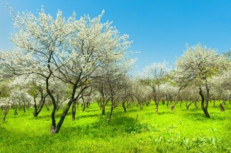 Photo pour Floraison apple arbres naturels vue sur le jardin de la Corée du Sud - image libre de droit