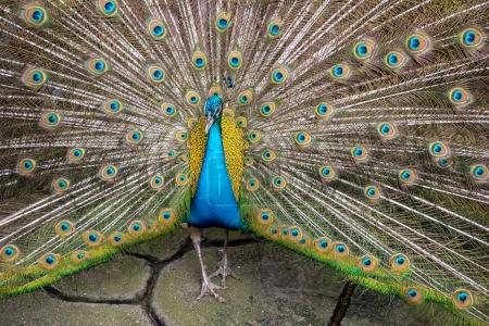 Colorful 'Blue Ribbon' Peacock in full feather at the thailand z