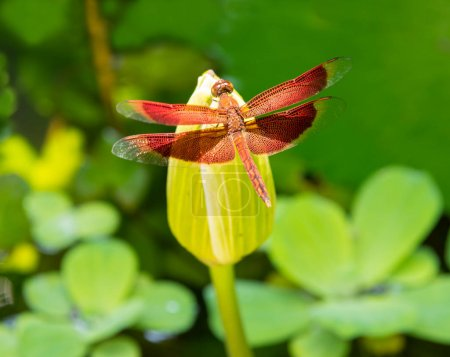 Red dragonfly on the lotus flower at the thailand jungle