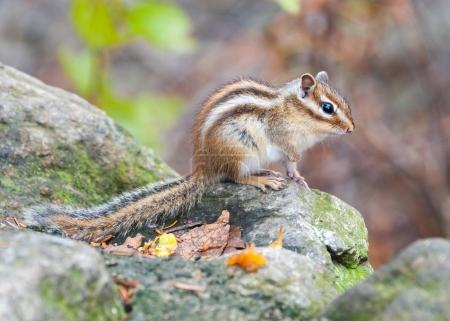 Siberian chipmunk - symbol animal of the of Seoraksan National P