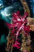 Vibrant Soft Coral Below Pier in Tropical Pacific