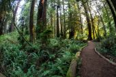 Trail Through Redwood Forest in California
