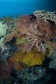 """Постер, картина, фотообои """"Красочные вентиляторы море процветать в Раджа Ампат. Этот тропический регион известен как сердце Кораллового треугольника из-за своего морского биоразнообразия."""""""