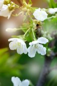 Spring flowers of blooming spring apple tree - natural spring flower background. Spring landscape with spring apple flowers in blossom - colorful spring nature view of spring apple flowers