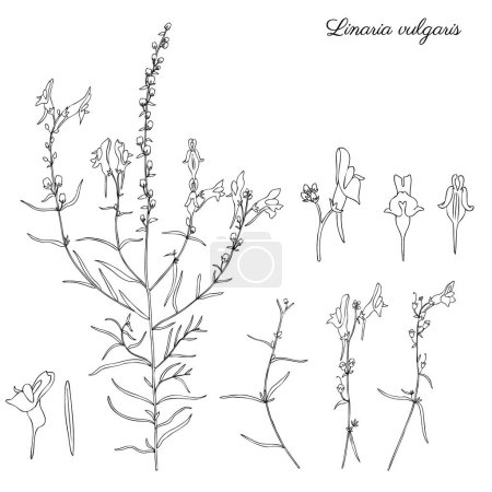 Illustration for Linaria vulgaris, common toadflax, yellow toadflax or butter-and-eggs is a species of toadflax, snapdragon, Plantaginaceae family, hand drawn vector botanical illustration, doodle ink sketch isolated - Royalty Free Image