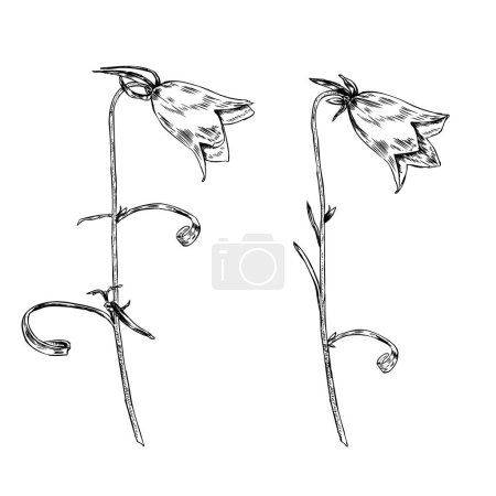 Bell flower vector engraving sketch hand drawn isolated on white background, vintage floral element for design pattern, greeting card, packaging cosmetic, herbal tea, healthy magazines, florist shop