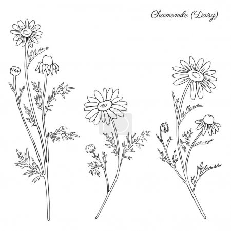 Chamomile wild field flower isolated on white background botanical hand drawn daisy sketch vector doodle illustration for design package tea, organic cosmetic, natural medicine, greeting wedding card