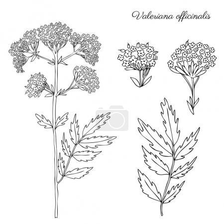 Valeriana officinalis botanical hand drawn vector ...