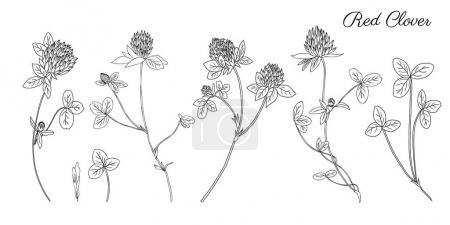 Graphic red clover, shamrock wild field flower iso...