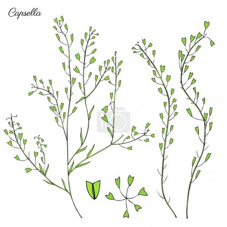 Capsella flower, Shepherds purse, Capsella bursa-pastoris, the entire plant, hand drawn graphic vector colorful illustration, doodle ink sketch isolated on white, contour style for design cosmetic