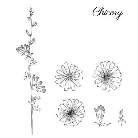Illustration for Chicory flowers set, vector illustration - Royalty Free Image