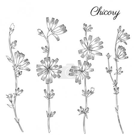 Illustration for Chicory flowers set, vector illustration - Royalty Free Image