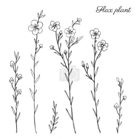 Illustration for Flax plant, wild field flower isolated on white, botanical hand drawn sketch vector doodle illustration, line art for design package organic cosmetic, natural medicine, greeting card, vegan food - Royalty Free Image