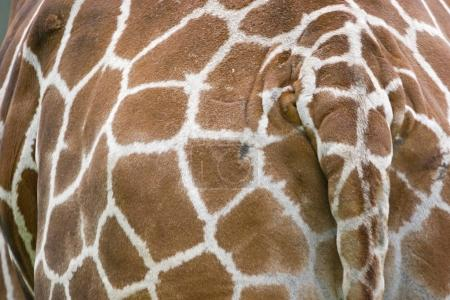 Kuriose Detailaufnahme einer Giraffe