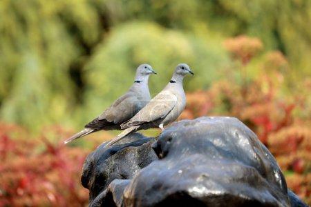 Photo pour Deux colombe à collier eurasien regardant dans la même direction - image libre de droit