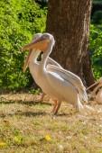 Pelikáni vyhřívat na slunci zblízka