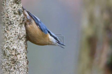 Photo pour Sittelle à l'arbre, mise au point sélective - image libre de droit