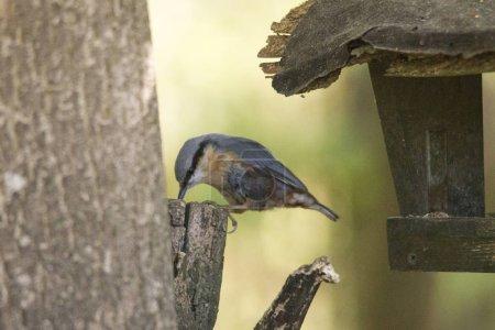 Photo pour Sittelle à la mangeoire d'oiseaux, foyer sélectif - image libre de droit