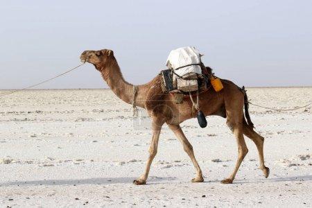 Photo pour Caravane de chameaux transportant le sel en désert Danakil, Ethiopie Afrique - image libre de droit
