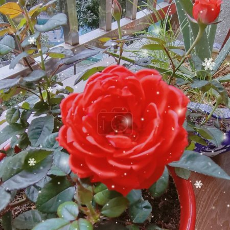Photo for Beautiful red rose in the garden - Royalty Free Image