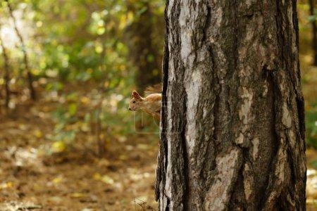 Photo pour Écureuil sur un pin lorgnant à jour de l'automne - image libre de droit