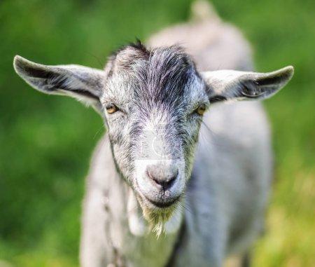 Photo pour Une jeune chèvre broute dans une prairie. Portrait d'une drôle de chèvre. La chèvre regarde la caméra. . - image libre de droit