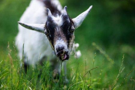 Photo pour Une jeune chèvre broute dans une prairie. Portrait d'une drôle de chèvre. La chèvre regarde à la caméra . - image libre de droit