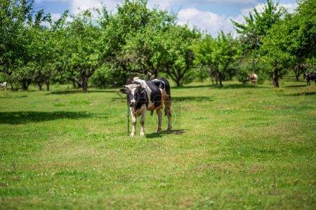 Photo pour Une vache paître dans une prairie - image libre de droit