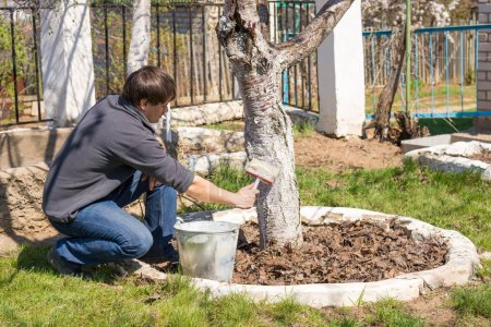 A man cultivates the trunks of fruit trees whitewashing in the suburban area