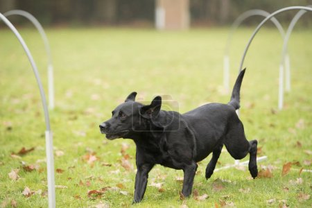 Dog, Labrador Retriever, running in hooper competition