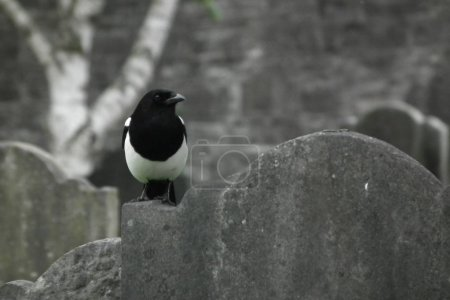 magpie on the stone