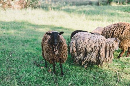 Pâturage moutons sur une prairie verte regardant dans la lentille de l'appareil photo