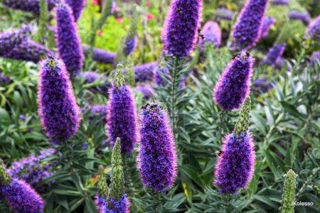 Photo pour Fleurs violet vif avec des abeilles sur eux. Plantes authentiques de Madère . - image libre de droit