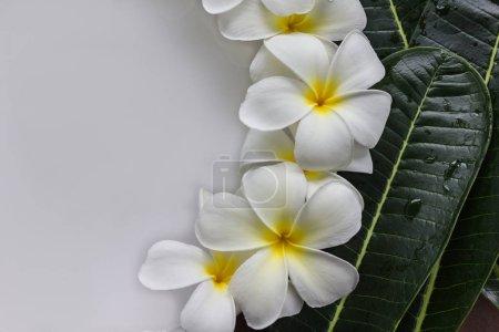 Yellow pollen and white petal frangipani or plumeria flowers wit