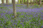A carpet of bluebell covering the forest floor