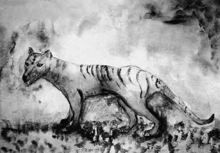 Photo pour Tigre de Tasmanie en noir et blanc. La technique de tamponnage près des bords donne un effet de mise au point doux en raison de la rugosité de surface modifiée du papier . - image libre de droit