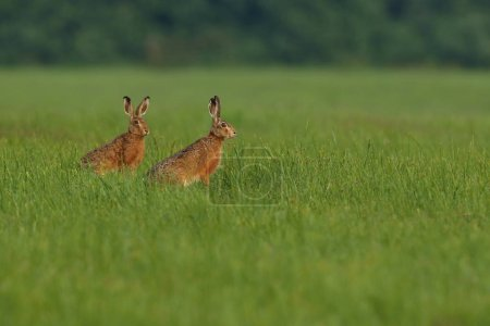 Photo for Two hares in the beautiful light on green grassland,european wildlife, wild animal in the nature habitat, czech republic, lepus europaeus - Royalty Free Image